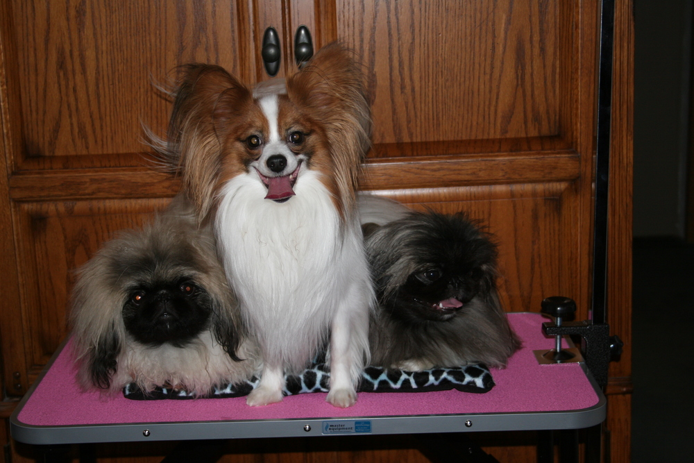 Powder Rivers current show dogs: Oliver the Papillion, Yin- Li  and Kilo the Pekingese.