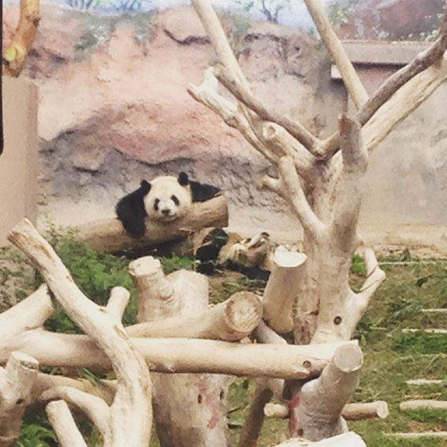 Lil' buddies (I'll be back to posting art at some point, I swear) #Macau #pandas