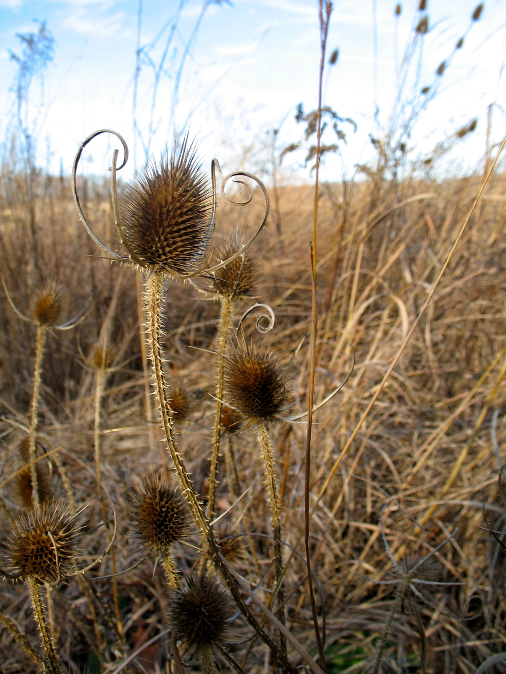 A jubilant crowd of teasels