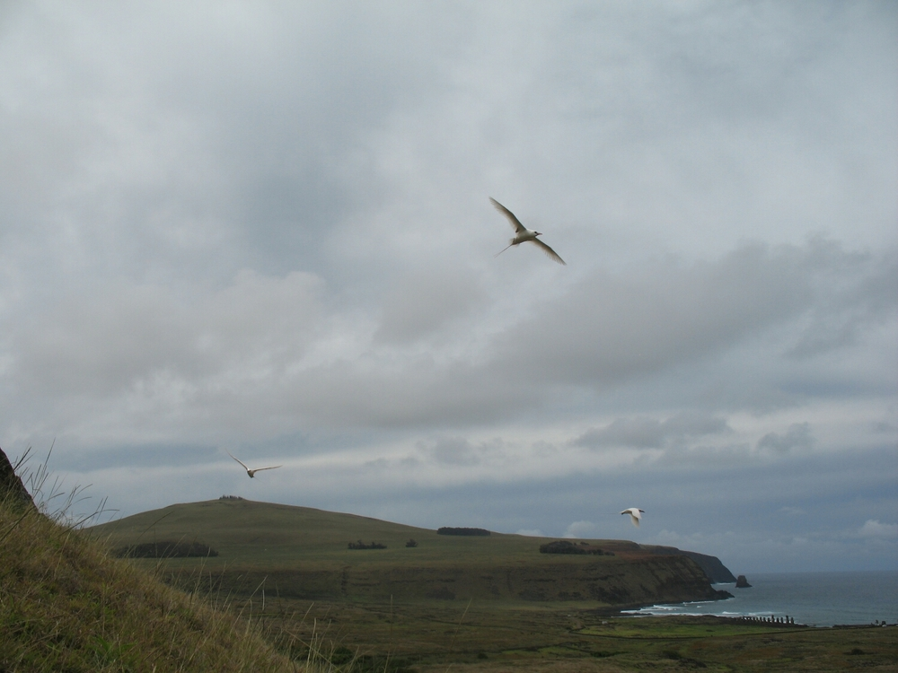 Tropicbirds at the Rano Raruku quarry, with the Tongariki line up along the beach in the far distance.