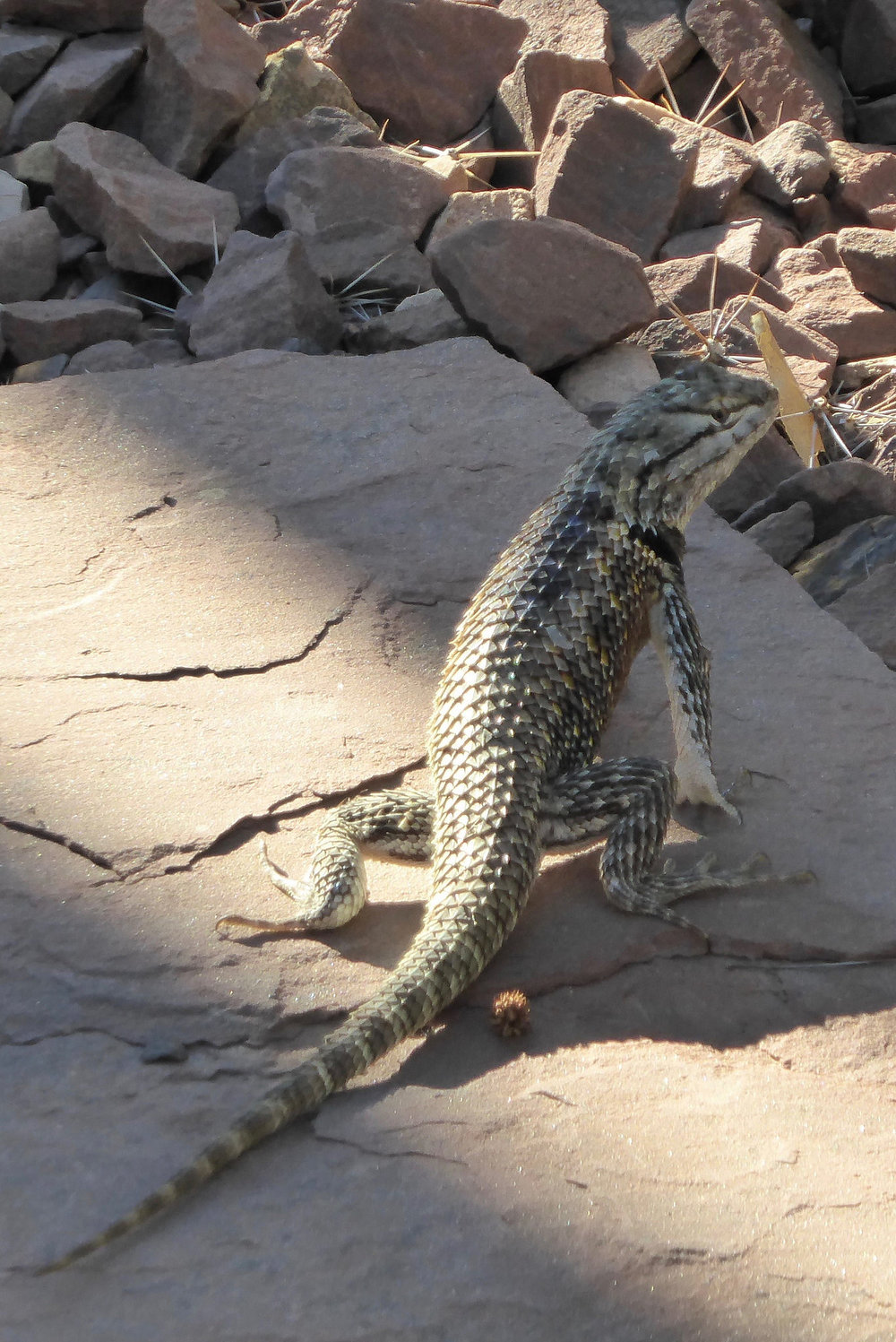 Deset spiny lizard posing