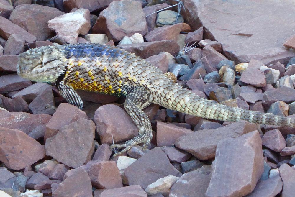 Desert Spiny Lizard I