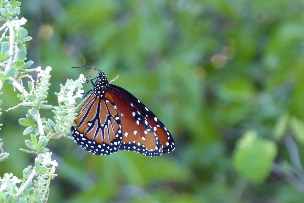 Queen butterfly IV