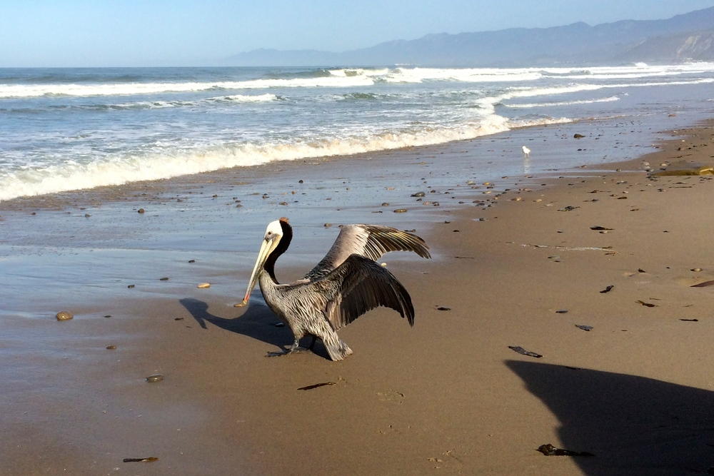 This pelican was not in the mood to be moved by my insistence to continue down the narrow strip of beach we were sharing, but he grumpily waddled aside and let me pass.