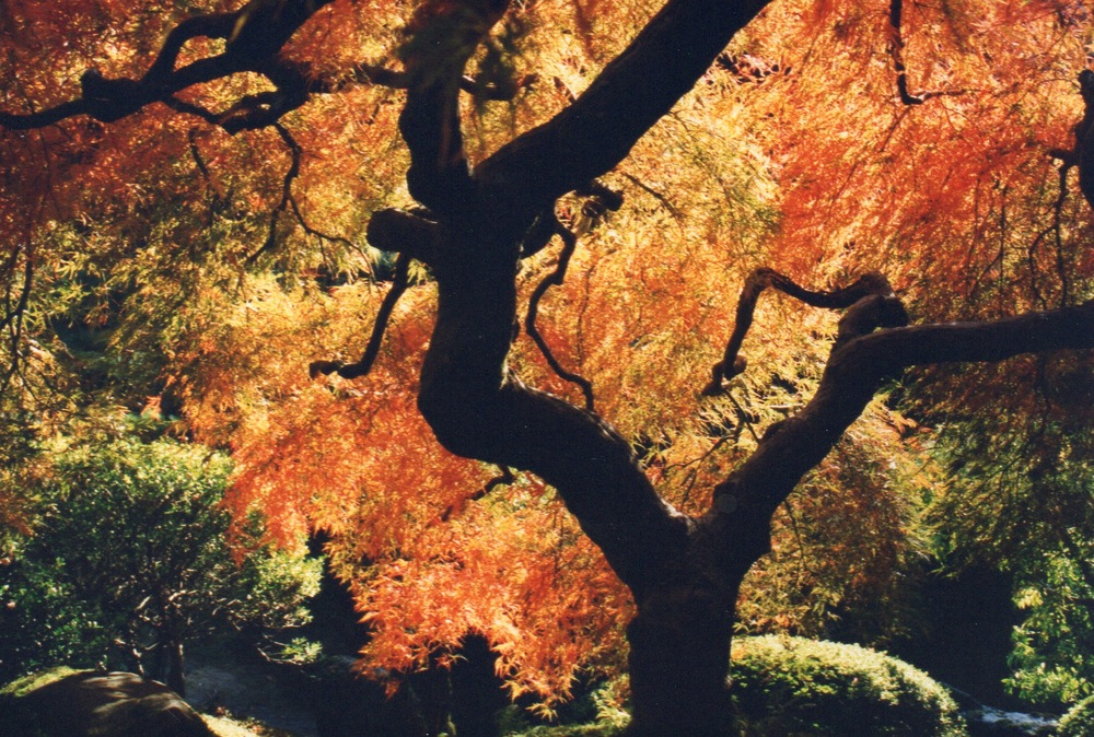That Japanese Maple as I photographed it in 2000.