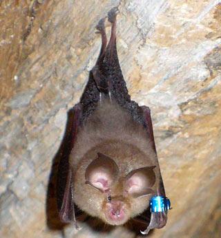 horseshoe-bat-lg.jpg