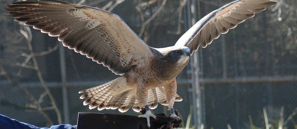 """More than 350 sick or injured birds are brought to the California Raptor Center for rehabilitation and treatment each year."""