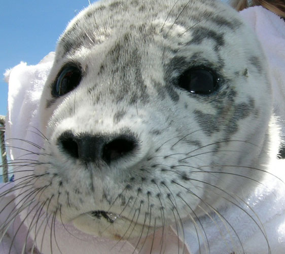 Harbor-Seal.jpg