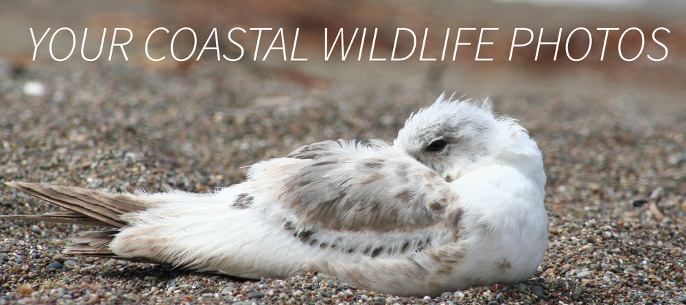 We invited Evotis readers to send us coastal wildlife photos. Send yours to onehealth@ucdavis.edu for consideration.