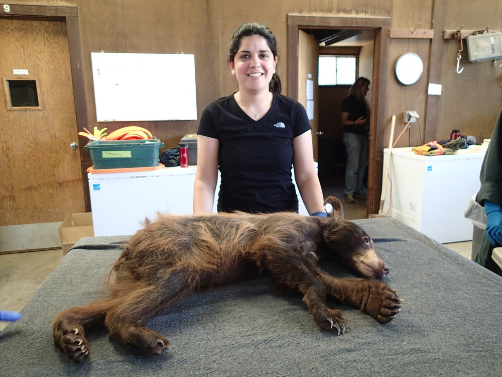 """This bear is a cub from Ojai, California who came to us with a severe mange infestation,"" said Jamie. ""We treated her for the infection and she was released back into the wild. This is during her final examination prior to release."""
