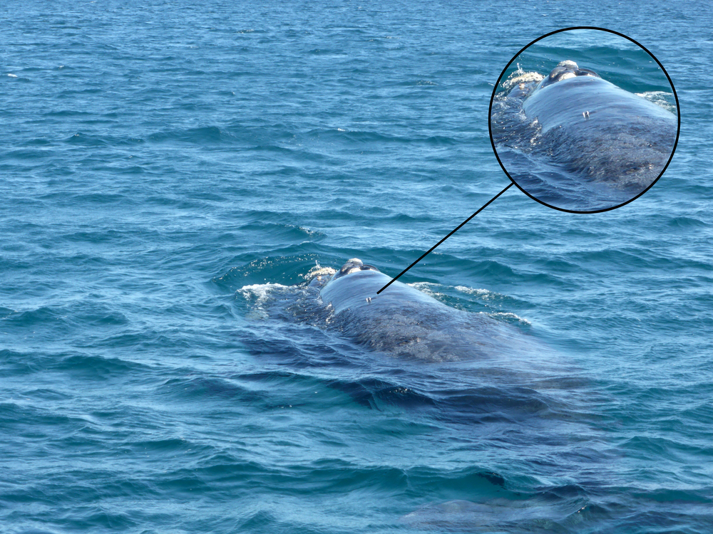Tracking devices are placed on the back of the whales.