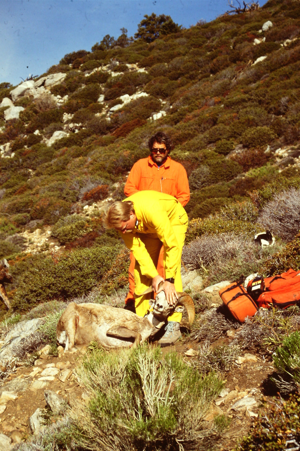 Tim Williamson (back) and Dave Jessup capturing Bighorn sheep in the San Jacinto Mountains in the early 1990s.