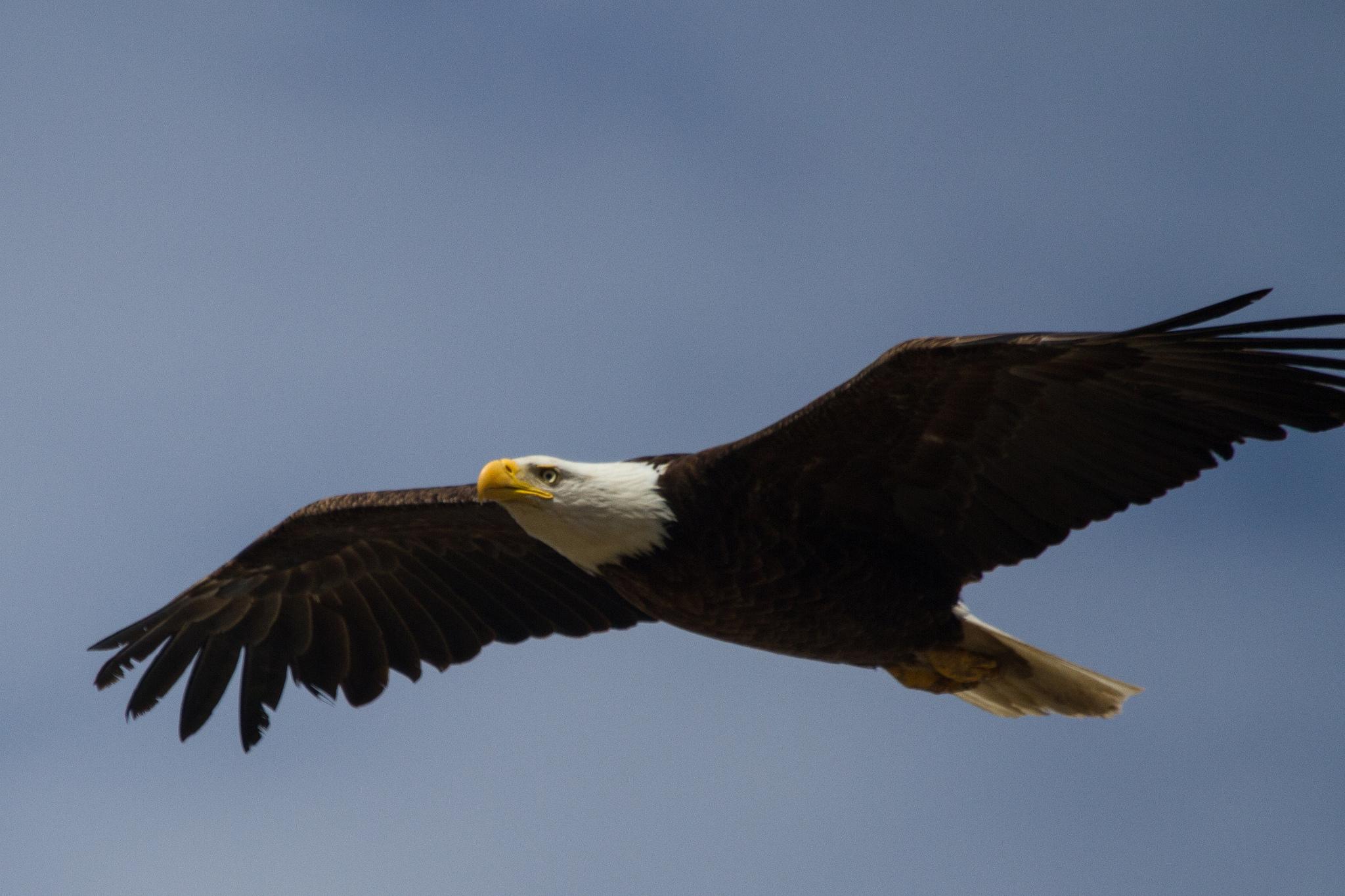 California Evotis Eagle Wing Diagram Of Bald 7324985144 8550b1c25f K1