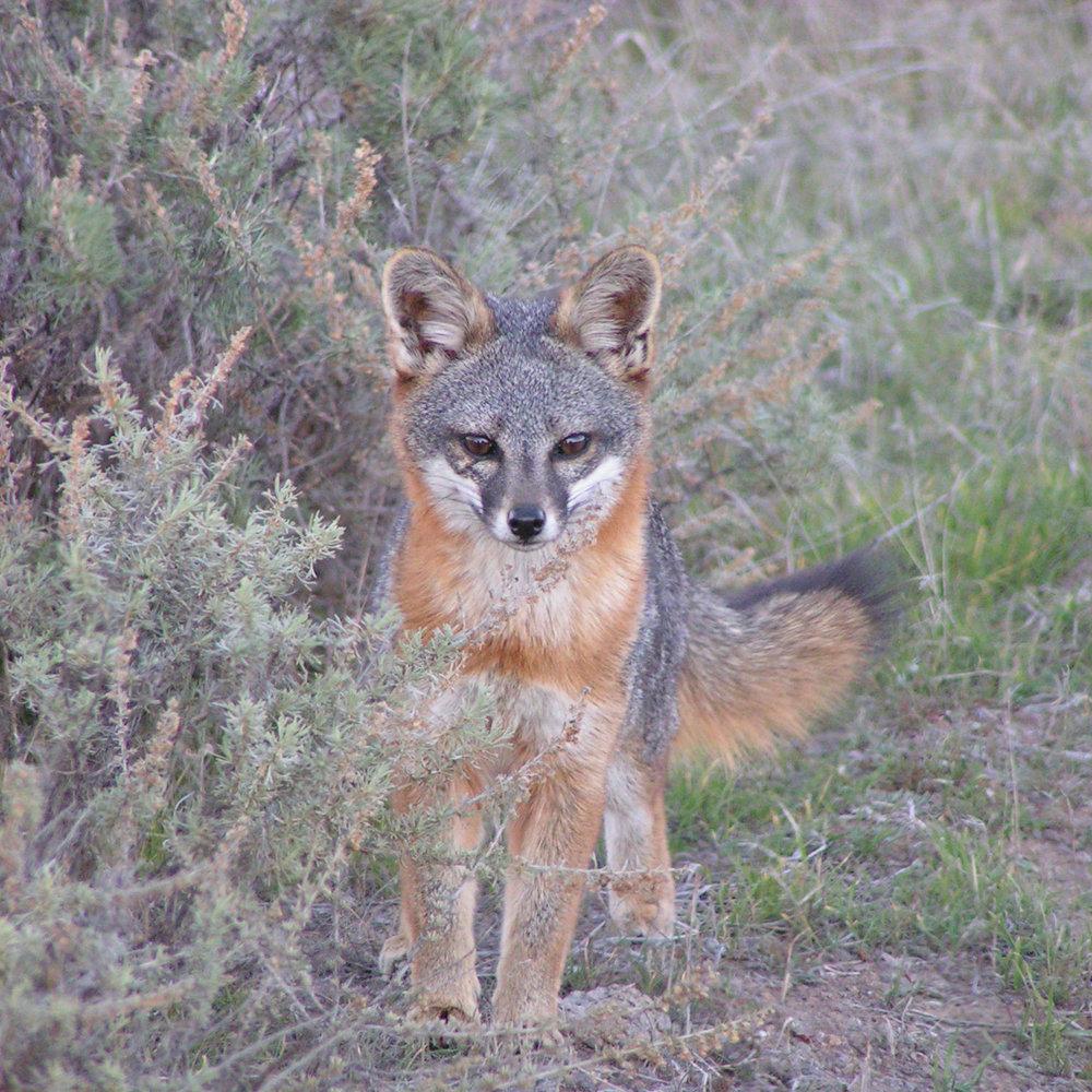 male fox-square.jpg
