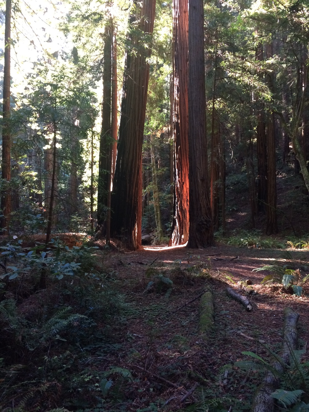 The Redwoods of Muir Woods.