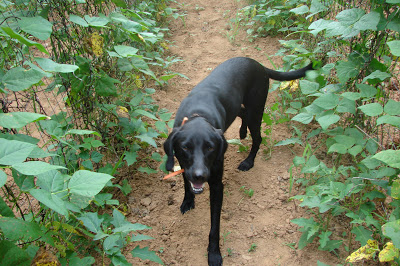 Eddie walking through the rattlesnake green beans last year.