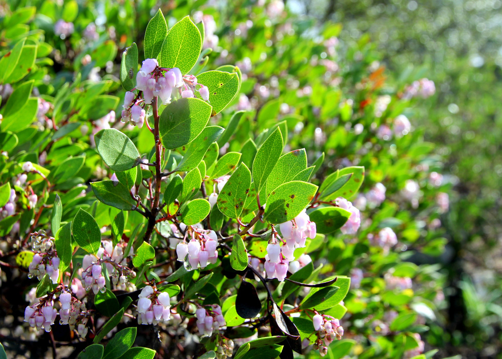 arctostaphylos_densiflora_howard_mcminn.JPG