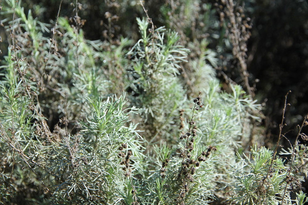 Artemisia Californica Artemisia californica ...