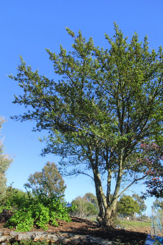 ceanothus_thyrsiflorus_blue_blossom.JPG