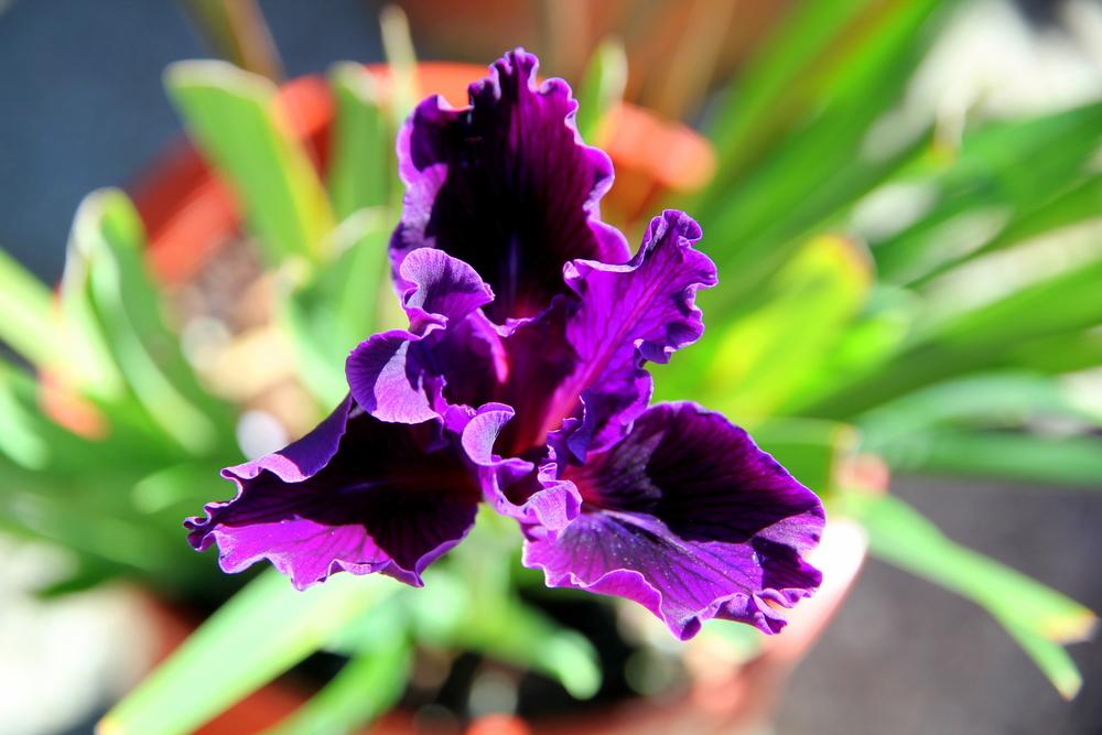 iris_purple.JPG