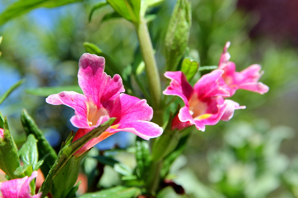 mimulus_jelly_bean_purple_pink.JPG