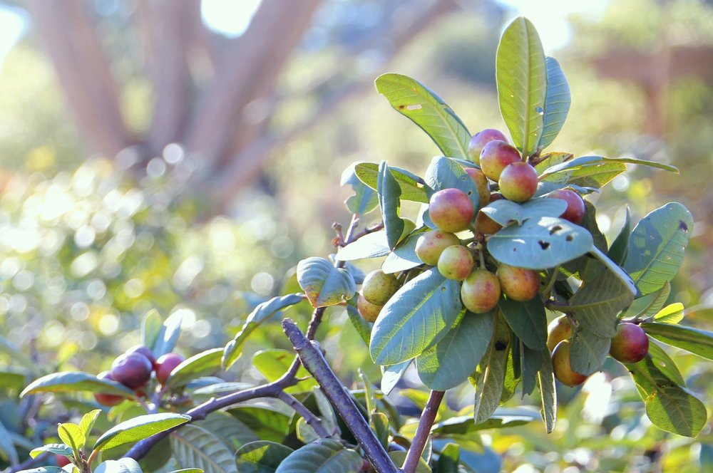 rhamnus_californica_coffeeberry_1.JPG
