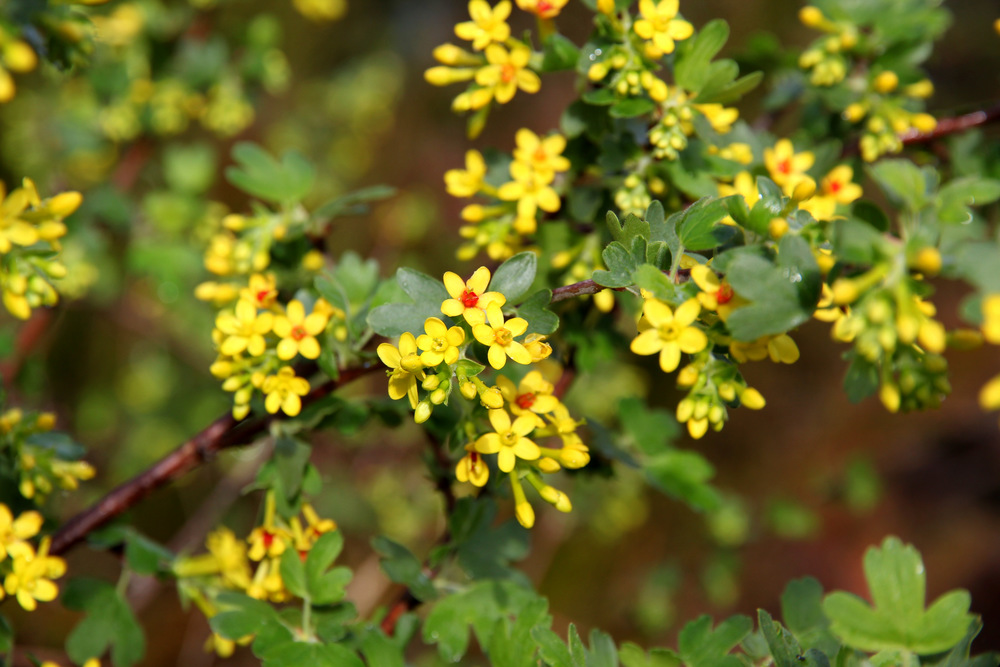 ribes_aureum_2.JPG