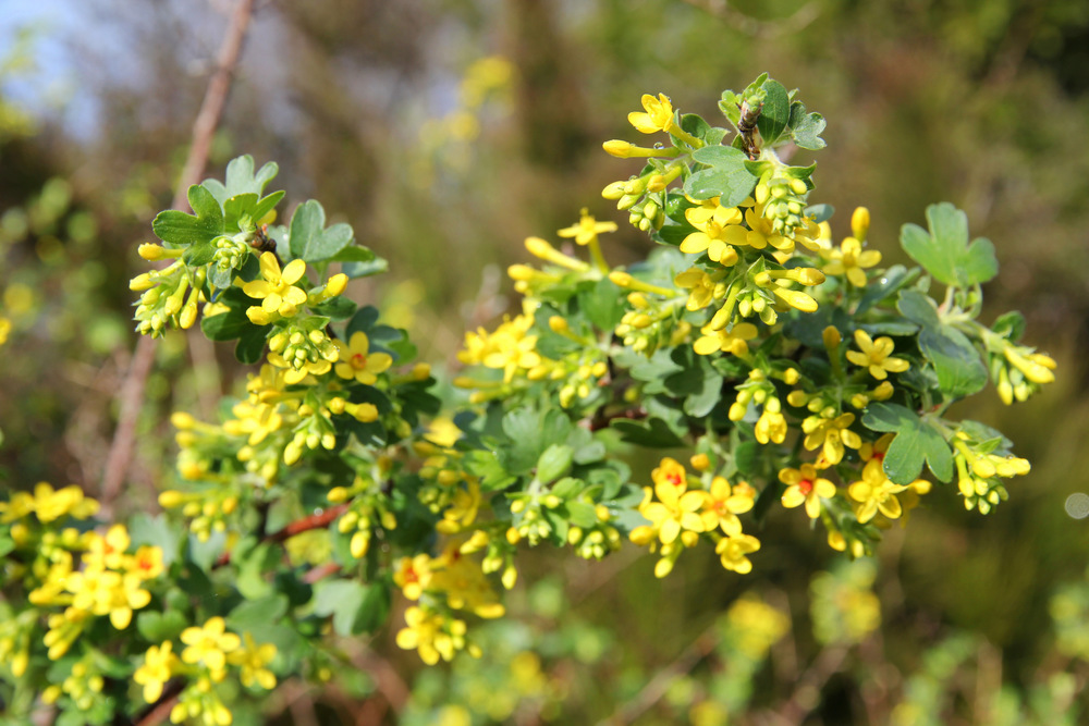 ribes_aureum_1.JPG