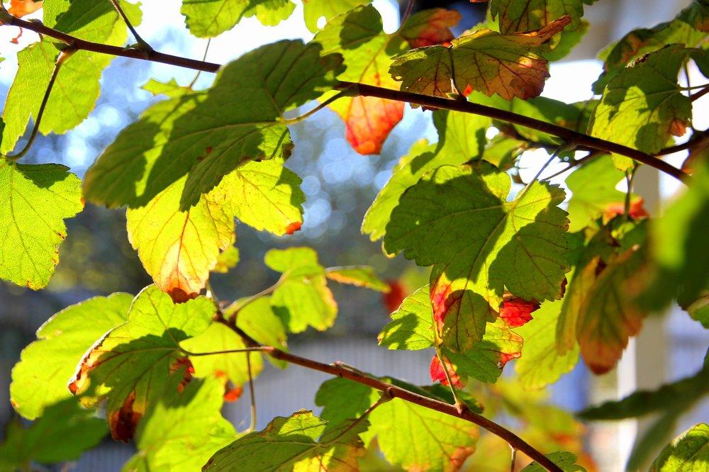 ribes_sanguinium_leaves.JPG