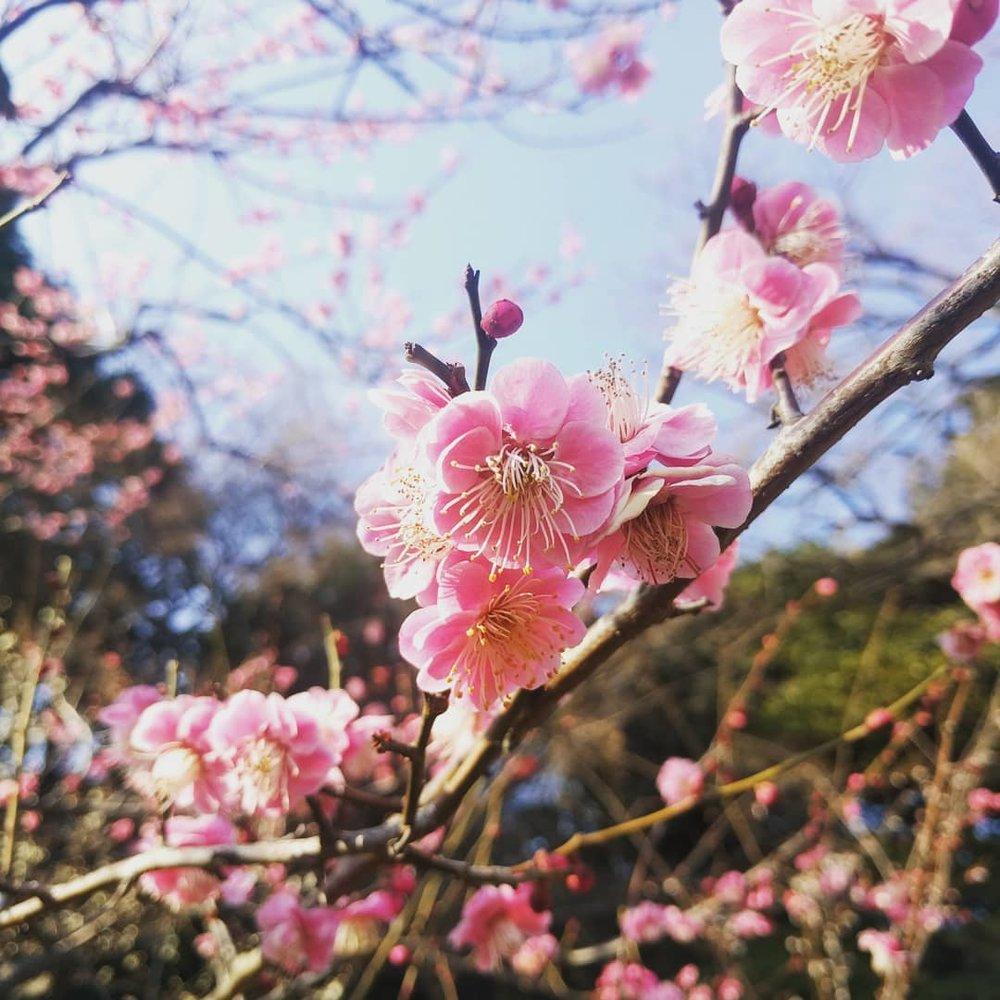 plum_blossom.jpg