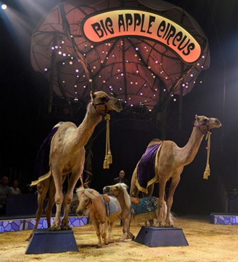 The kids keep telling me the camels dance better than I do! We're so amazed by these big guys at the @BigAppleCircus! #underthebigtop #bigapplecircus #sp #familyfun
