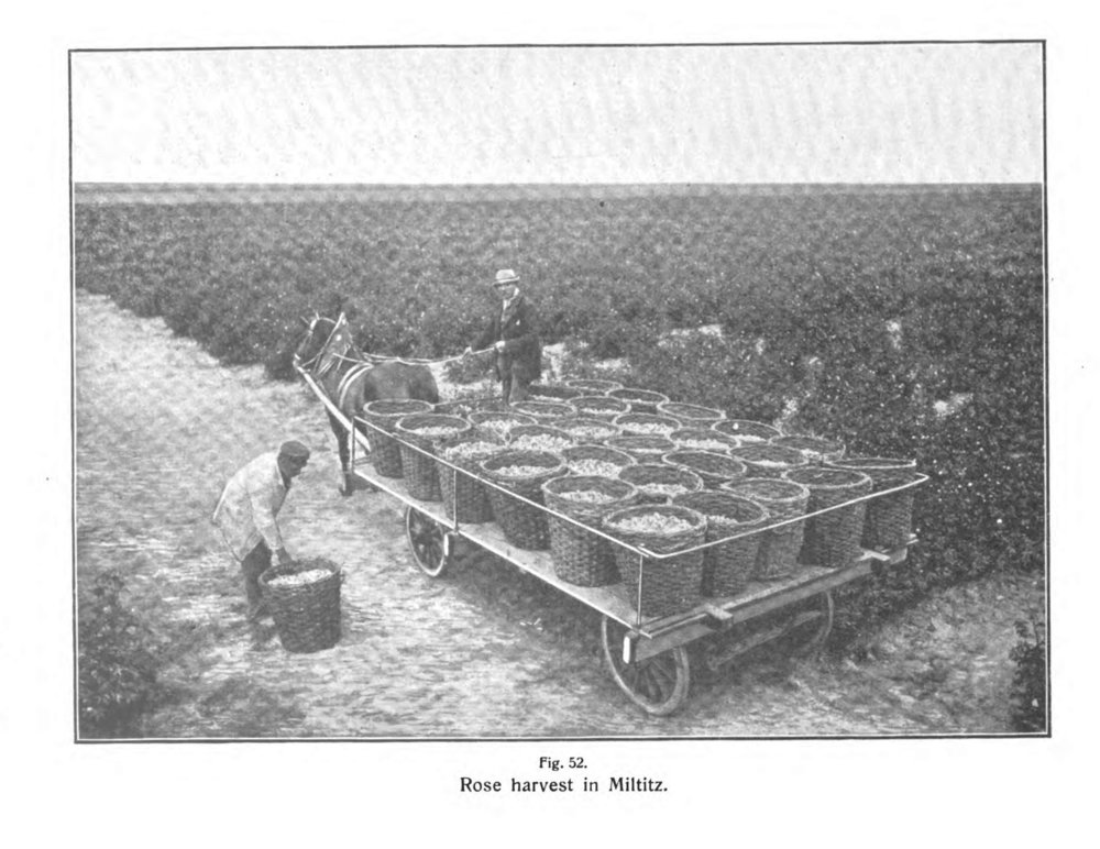 Harvesting rose petals to make rose oil in Miltitz. From The Volatile Oils, the english translation of Gildemeister and Hoffmann's Die Aetherischen Oele, the first scientific monograph on essential oil chemistry, first published in 1899. Gildemeister was a chemist at Schimmel & Co., and much of the information included in the book was based on research conducted at the company.