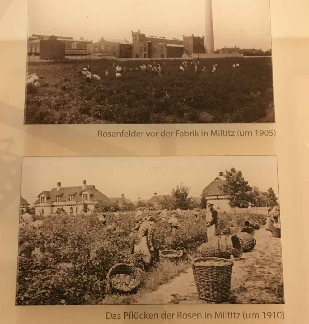 Images of rose fields and rose field workers, from the small exhibit of the company's history displayed in the atrium outside the Schimmel Library.