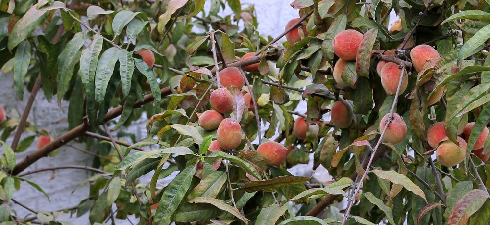 Peach tree in garden full of fruit