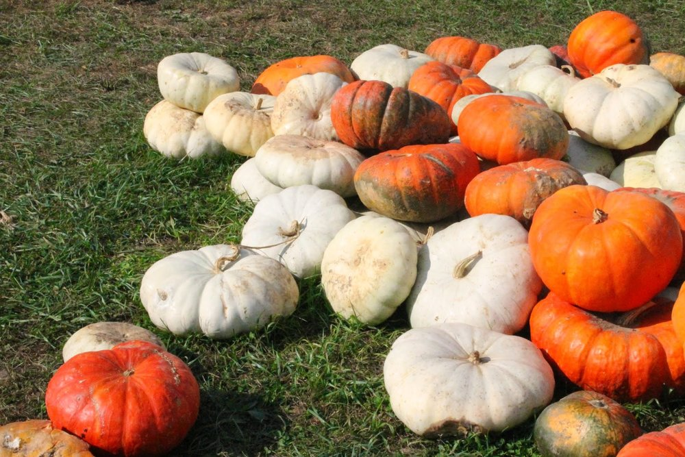 White orange and red Pumpkins. Kentucky.