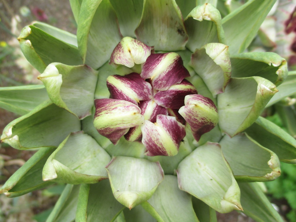 The wonders of the Accidental Naturalist's garden: an artichoke long past its peak for clarified butter.