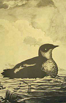 The Marbled Murrelet by Atanasio Echeverria in Noticias de Nutka: An Account of Nootka Sound in 1792, by Jose Mariano Mozino. Photo by Maria Mudd Ruth.
