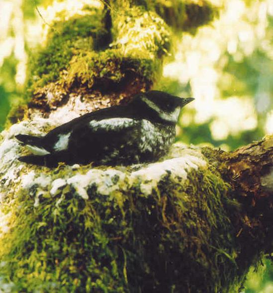 Photo of a juvenile marbled murrelet on its nest courtesy Tom Hamer, www.hamerenvironmental.com