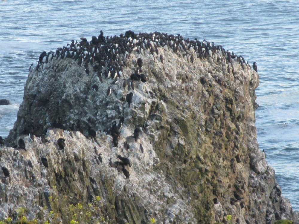 So common. Just one of the off-shore colonies of Common Murres (and few cormorants) near the Yaquina Head Lighthouse, Newport, Oregon. You could watch, hear, study, photograph, or paint the 65,000 murres here all day long! (Photo by MM Ruth)
