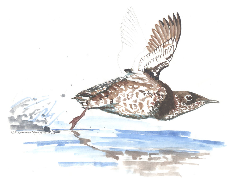 "A Marbled Murrelet in flight. ""Fog Lark"" is one of the many nicknames of this endearing seabird that flies from nearshore waters of the Pacific into our coastal forests in low light (most often before sunrise) during the summer and often in the fog. (Art c 2017 by Alexandra Munters)"