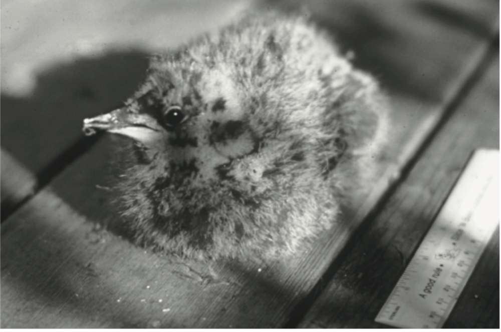 The very downy Marbled Murrelet chick discovered on its nest in 1974   Photo courtesy Bruce Elliott (California Dept. Fish & Game)