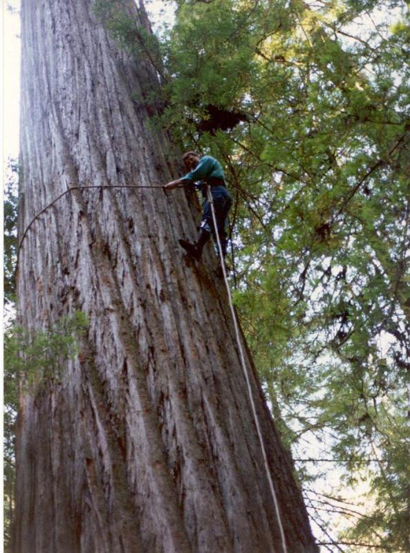 Flip-line climbing of an old-growth tree demonstrated here by Tom Hamer (Photo courtesy Hamer Environmental).