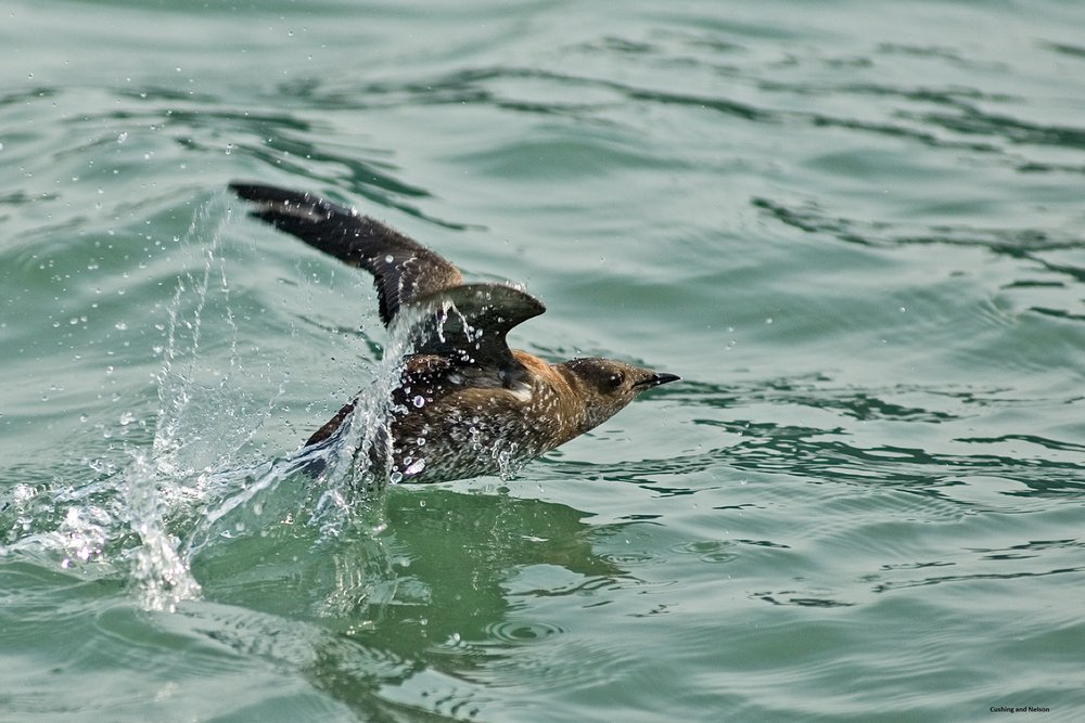 A Marbled Murrelet in breeding plumage taking off from the water. Photo courtesy Dan Cushing and S. Kim Nelson
