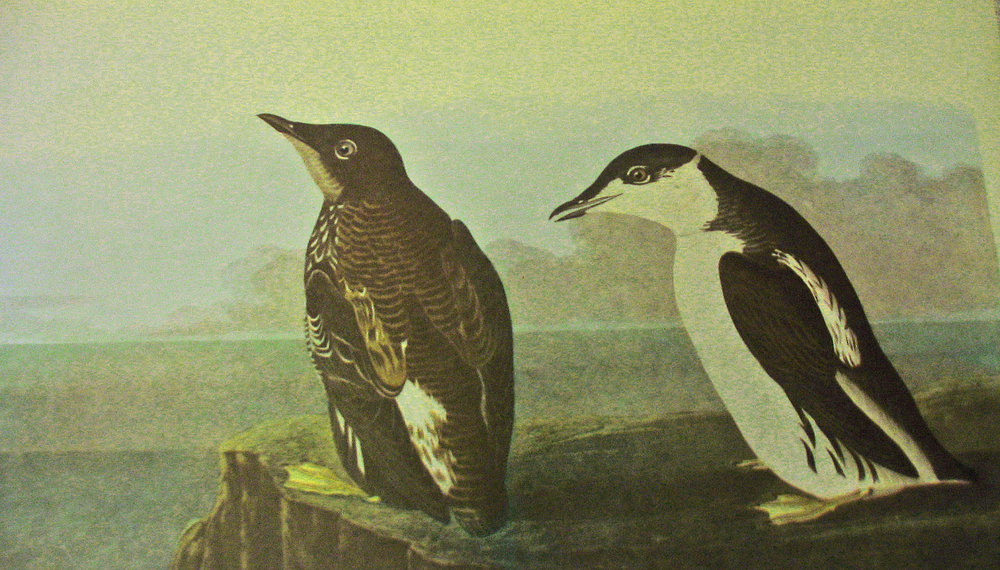 Two Marbled Murrelets painted (not from life) by John James Audubon.