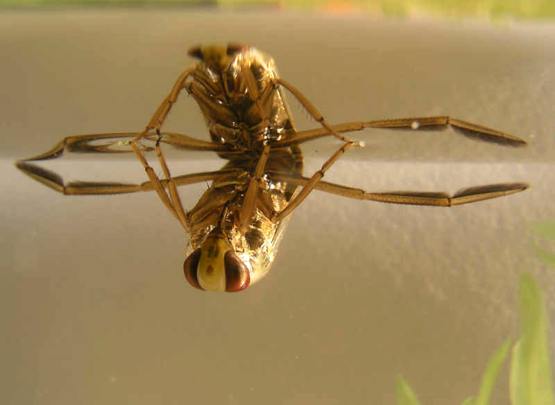 Water boatman. (Photo by E. van Herk - nl:Afbeelding:Notonectaglauca.jpg, CC BY-SA 3.0,  https://commons.wikimedia.org/w/index.php?curid=506562