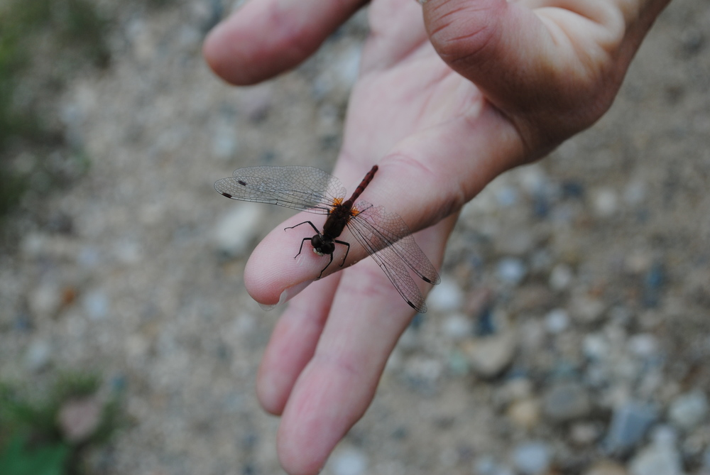 The red dragonfly who often leads my way... a sign of transformation and growth.