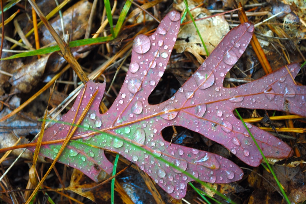 Proof of my obsession with water droplets on fallen leaves | Photo Credit: Terri Spaulding