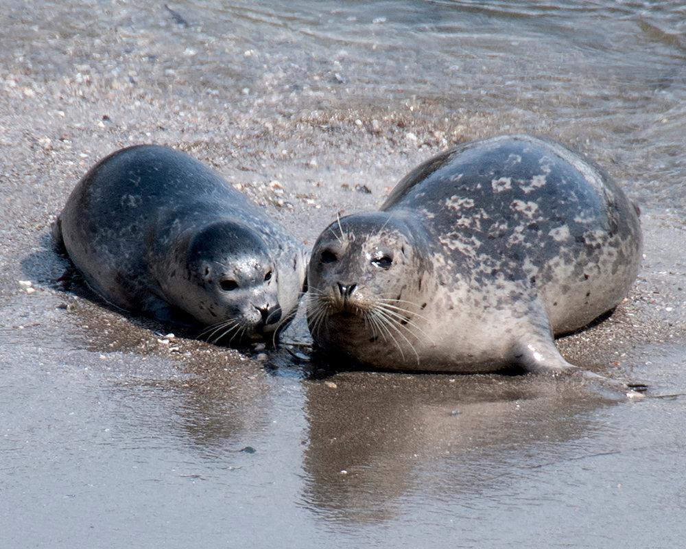 Harbor Seal 1