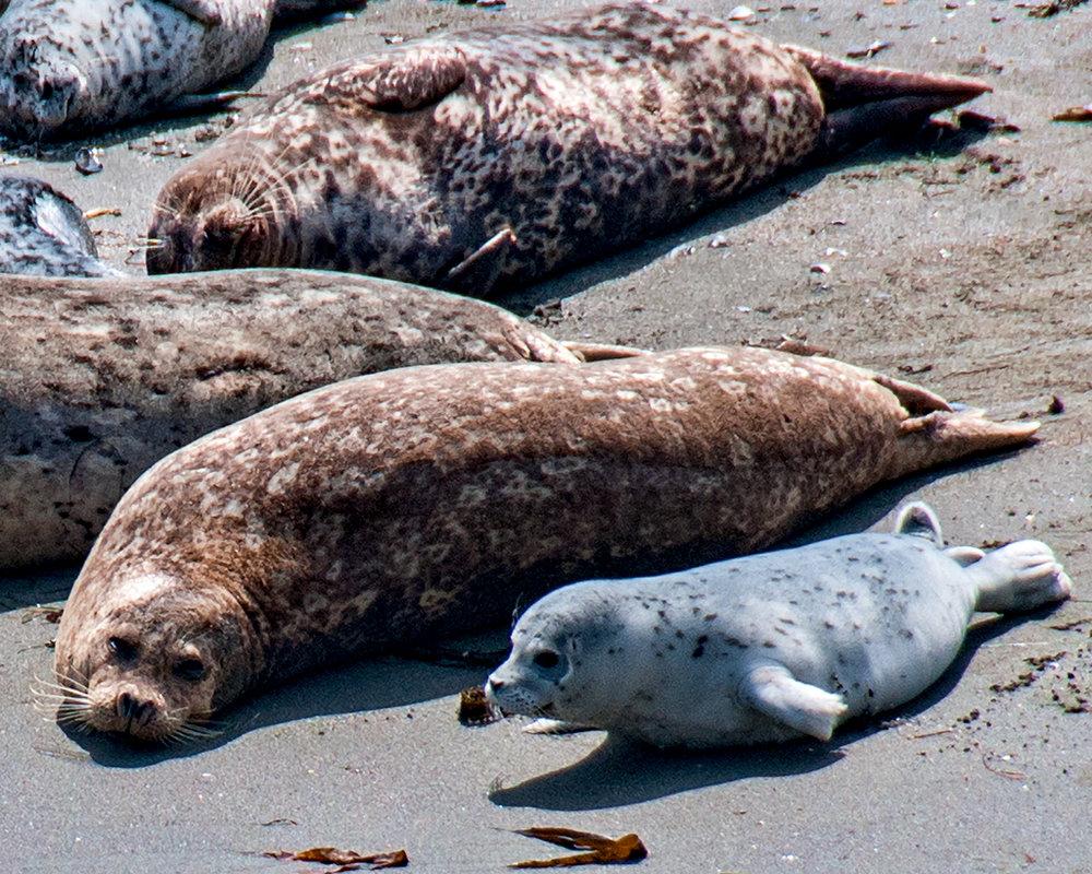 Harbor Seal 2