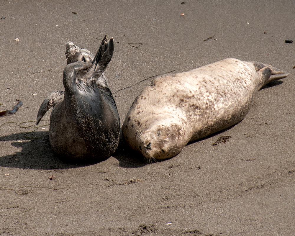 Harbor Seal 3